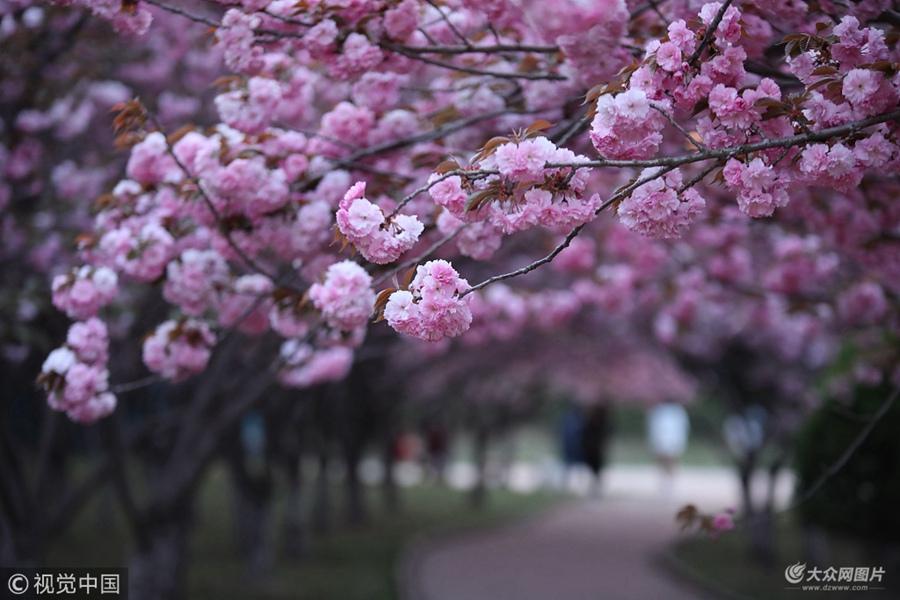 2018-05-26,山东日照,市民在樱花园里游玩观赏。随着气温的升高,位于山东日照樱花园的樱花树进入盛花期,犹如一片花海,美不胜收,蔚为壮观,引来市民驻足拍照观赏。