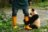 2017年3月18日,重庆市杨家坪动物园内大熊猫幼仔紧抱饲养员大腿卖萌。
