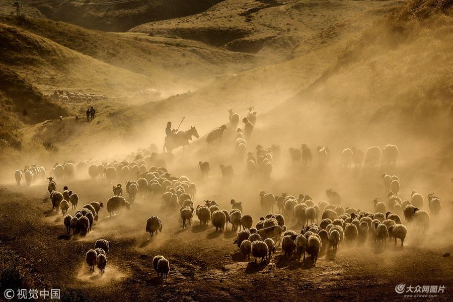当地时间2018年6月14日,土耳其比特利斯省塔特万,牧羊人驱赶羊群经过内姆鲁特山高地卷起尘土景象壮观。