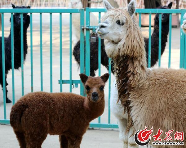 2、巧克力色的小羊驼宝宝,有长长的睫毛和大大的眼睛。.jpg