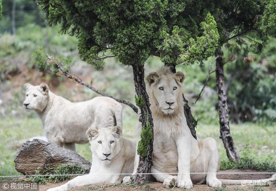 2018年7月10日,济南野生动物世界从南非引进的3只白狮正式与游客见面。