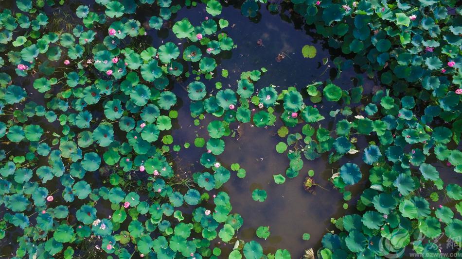 图5 聊城市东昌府区南湖湿地公园,成片的莲叶与盛开的荷花  大众网记者 毕胜.jpg