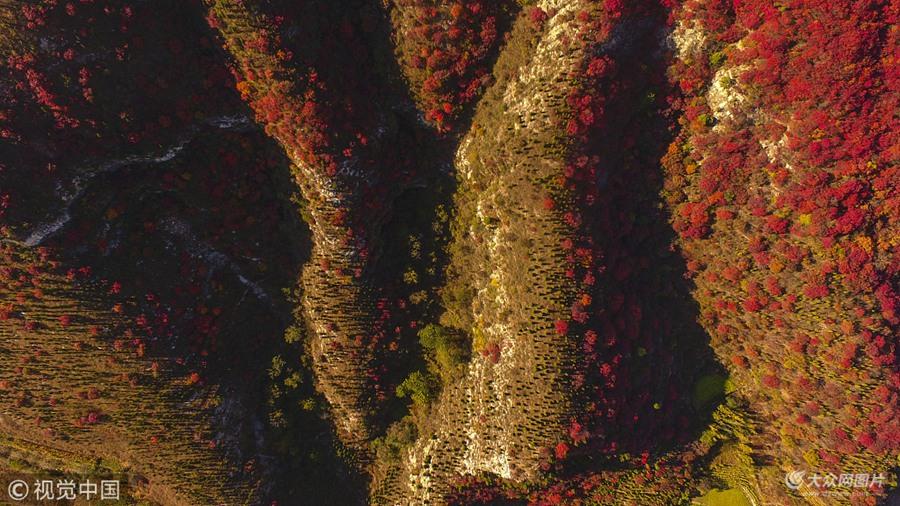 2018年10月18日,山东淄博,沂源县凤凰山漫山红叶。