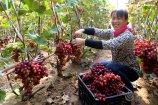 """1、小雪节气刚过,在济阳县回河街道张高村的葡萄种植大棚里,农户正在采摘又大又红的""""冰美人""""葡萄。.JPG"""