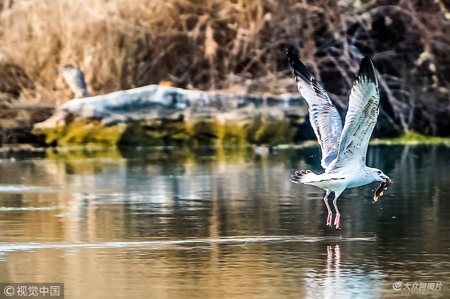 """2019年1月3日,济南,大明湖畔冬日美景怡人,众多欧鹭盘旋在湖水上空寻找美食。它们时而滑翔,时而俯冲入水中,上演一幕幕""""水上芭蕾"""",成为泉城一景。"""