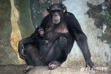现在小猩猩成长良好,家族其乐融融。.jpg